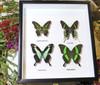 Butterflies for sale Australia