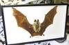 Hipposideros diadema framed bat