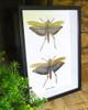 Titanacris collaris grasshopper
