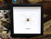 Cave Spider for sale Bits and Bugs