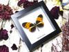 mini frame Heliconius numata ( special )