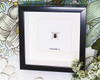 spider arachnid in shadow box - taxidermy - bitsandbugs