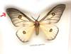 Ceranchia apollonia matt ( special )