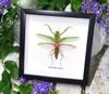 Rhombodera basalis mantid preying mantis bitsandbugs