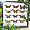 butterflies insects taxidermy home decor bits and bugs Ithomiinae