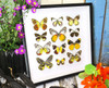 butterflies insects taxidermy home decor bits and bugs DELIAS SPECIES