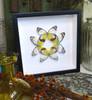 butterfly display home decor framed Delias hyparete bitsandbugs