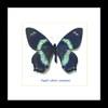 Papilio toboroi straatmani