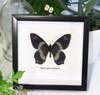 Taxidermy real butterfly Papilio toboroi straatmani bitsandbugs