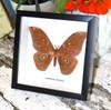 moth framed in shadowbox Gonimbrasia anthinoides bits & bugs