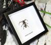 Calothyrza margaritifera beetle in frame Bits & Bugs