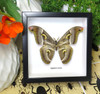 moth butterfly taxidermy insect entomology saturnid Epiphora vacuna