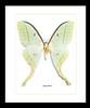 moon luna moth Actias selene Bits and Bugs