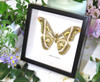 moth framed in shadowbox Epiphora rectifascia bits & bugs