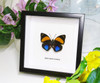 Agrias amydon zenodorus butterfly in frame