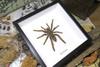 spider arachnid framed spider for sale Australia Hysterocrates gigas Bits & Bugs