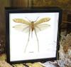 Mantidae sp