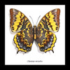 Framed butterflies Charaxes euryalus Bits & Bugs
