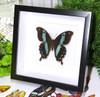 Papilio orizabus