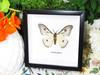 Ceranchia apollonia Ghost moth