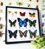 Papilio ulysses, Delias splendida, Cymothoe sangaris, Hebomoia glaucippe, Urania leilus, Papilio palinurus, Papilio oribazus, Papilio demodocus, Chrysiridia riphearia