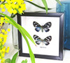 Hypocrita species Insect bug bee butterfly dragonfly taxidermy entomology beetle moth