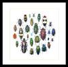 Jewel Beetle display