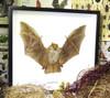 Harpiocephalus harpia