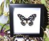 Graphium leonidas