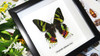 Real butterfly framed Chrysiridia rhipheus ( Sunset Moth ) Bits&Bugs