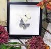 Australian butterfly collection Appias albina Appias celestina