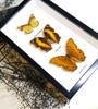 danaus chrysippus yoma sabina vindula arsinoe