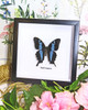 Papilio mangoura