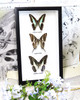 Australian butterfly collection Graphium sarpedon,Graphium euryplus + Graphium aristeus