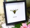 Cephonodes hylas hawkmoth