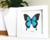 Australian butterfly framed Papilio ulysses  Bits&Bugs