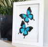 Australian butterfly Bits & Bugs Papilio ulysses