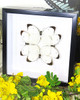 white butterfly /ascia-buneae/