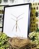 Australian stick insect Tirachoidea westwoodi