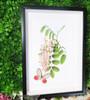 Botanical Cithaerias aurorina