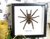 Spider for sale  arachnid Haplopelma lividum