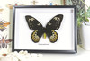 Ornithoptera goliath samson female label