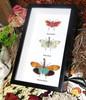 Pryops lanternfly