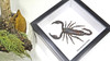 Real scorpion Chernesonesometrus fulvipes Bits & Bugs