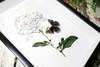 Botanical Junonia orithya