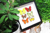 assorted butterfly display