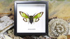 Cicada in frame Salvazana mirabilis Bits & Bugs