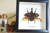 Beetle real bug taxidermy framed Xylotrupes gideon