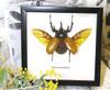 Eupatorus gracilicornis Rhinoceros beetle beetle insect taxidermy entomology bug