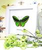 Ornithoptera priamus poseidon MALE Label white